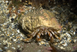Hermit Crab, Farne Islands by Alan Fryer 
